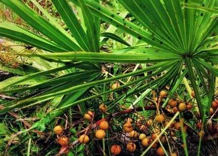 Saw Palmetto How to use?